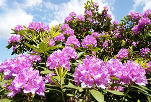 tagesfahrt w rlitzer park zur rhododendronbl te kur